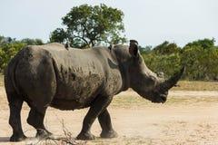 在土路旁边的犀牛身分 免版税库存照片