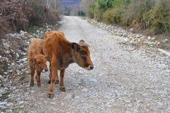 在土路的母牛和小牛立场 免版税图库摄影