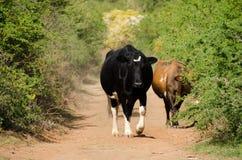 在土路的母牛 免版税库存照片