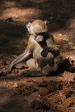 在土路的猴子 免版税库存图片