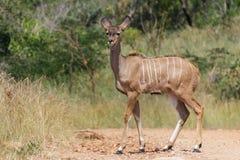 在土路的Kudu 库存图片