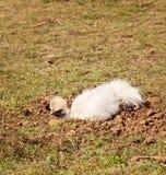 在土浴,有机生活方式的Silkie矮小的母鸡 库存照片