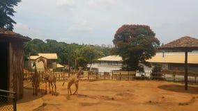在圣保罗动物园的长颈鹿 免版税库存图片