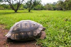 在圣克鲁斯岛的加拉帕戈斯巨型草龟在加拉帕戈斯Natio 免版税图库摄影