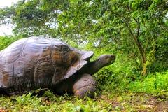 在圣克鲁斯岛的加拉帕戈斯巨型草龟在加拉帕戈斯Natio 库存图片