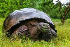在圣克鲁斯岛的加拉帕戈斯巨型草龟在加拉帕戈斯Natio 库存照片