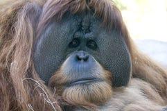 在圣地亚哥动物园的猩猩 免版税库存图片