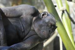 在圣地亚哥动物园,加利福尼亚的黑猩猩 库存图片