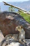在圣地亚哥徒步旅行队公园的雌狮 库存图片