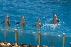在圣地亚哥水马戏的四只海豚 免版税图库摄影