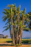 在圣地亚哥海湾的棕榈树 免版税库存图片