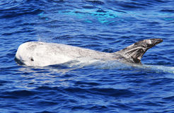 在圣地亚哥附近的Risso的海豚 库存照片