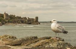 在圣安德鲁斯城堡的海鸥 库存照片