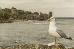 在圣安德鲁斯城堡的海鸥 免版税库存图片