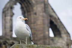在圣安德鲁斯大教堂,苏格兰废墟的海鸥  免版税库存图片