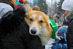 在圣帕特里克` s天游行的威尔士小狗在公园Sokolniki在莫斯科 库存图片