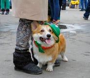 在圣帕特里克` s天游行的威尔士小狗在公园Sokolniki 免版税图库摄影
