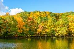 在圣徒布鲁诺公园的金黄槭树叶子 免版税图库摄影
