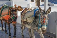 在圣托里尼海岛上的两头驴  库存照片