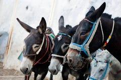驴在圣托里尼海岛,希腊上的Fira 免版税库存图片