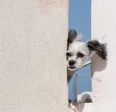 在圣托里尼,希腊的狗 免版税图库摄影