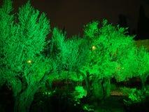 在圣洁星期四,橄榄树在Gethsemane庭院里  免版税库存照片