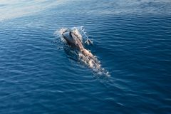在圣芭卜拉附近的共同的瓶鼻子海豚在离加利福尼亚海岸美国的附近 库存照片
