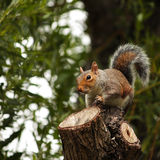 在圣詹姆斯公园的伦敦灰鼠 库存图片
