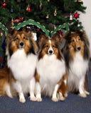 在圣诞树前面的三只大牧羊犬 库存照片