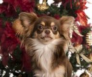 在圣诞树前面的奇瓦瓦狗小狗 库存图片