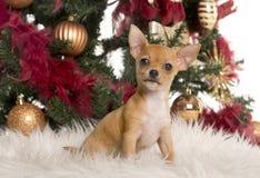 在圣诞树前面的奇瓦瓦狗小狗 免版税库存照片