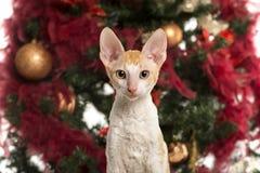 在圣诞树前面的康沃尔雷克斯小猫 免版税库存图片
