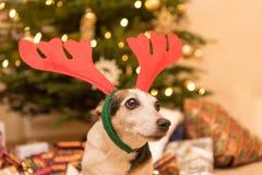 在圣诞树前面的迷人的杰克罗素狗 免版税图库摄影
