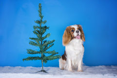 在圣诞树的小狗骑士国王查尔斯狗 库存图片