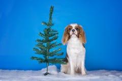 在圣诞树的小狗骑士国王查尔斯狗 免版税库存图片