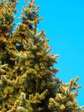 在圣诞树的很多年轻锥体 免版税库存照片