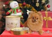 在圣诞树的Pomeranian狗 免版税库存照片