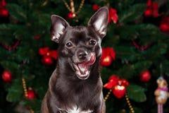 在圣诞树背景的奇瓦瓦狗  免版税库存照片