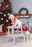 在圣诞树附近的一只金毛猎犬小狗 免版税图库摄影