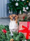 在圣诞树附近的狗 免版税库存照片