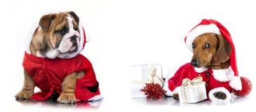 在圣诞老人帽子和英国牛头犬的达克斯猎犬 库存照片