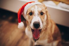 在圣诞老人帽子哈欠的狗 圣诞快乐和新年好conce 库存照片