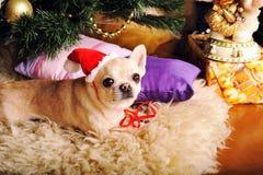 在圣诞老人帽子摆在的幼小米黄奇瓦瓦狗狗 免版税库存照片