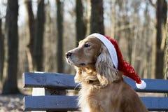 在圣诞老人帽子的一个金黄西班牙猎狗听到在耳机的音乐的 免版税库存照片
