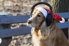 在圣诞老人帽子的一个金黄西班牙猎狗听到在耳机的音乐的 图库摄影