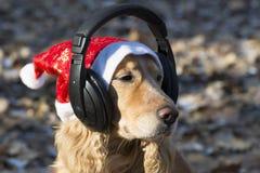 在圣诞老人帽子的一个金黄西班牙猎狗听到在耳机的音乐的 库存图片
