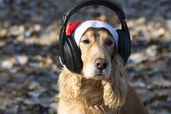 在圣诞老人帽子的一个金黄西班牙猎狗听到在耳机的音乐的 免版税库存图片