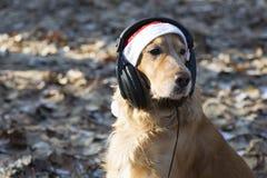 在圣诞老人帽子的一个金黄西班牙猎狗听到在耳机的音乐的 库存照片