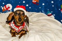 在圣诞老人帽子的一只可爱的达克斯猎犬小狗 免版税图库摄影