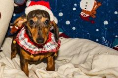 在圣诞老人帽子的一只可爱的达克斯猎犬小狗 库存照片